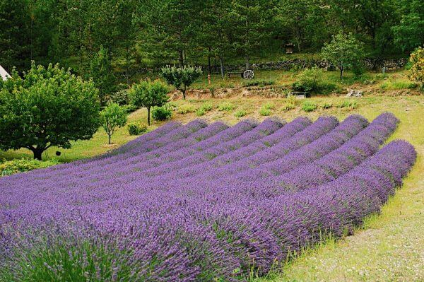 Lavender fields in South France
